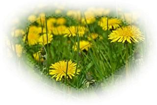 11702144_wiosna-sloncelaka-zolte-mlecze